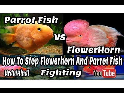 How To Stop Flowerhorn And Parrot Fish Fighting | Solve Big Problem !!! Urdu And Hindi