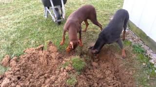 Doberman Pinscher Buries Her Best Friend Storm.