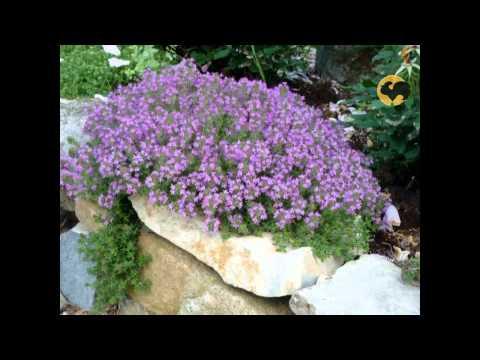 видео: Сад и огород-101 Тимьян.