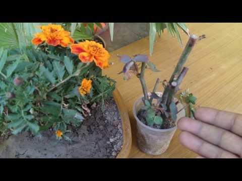 168# Rose cutting care & tips || how to growRose