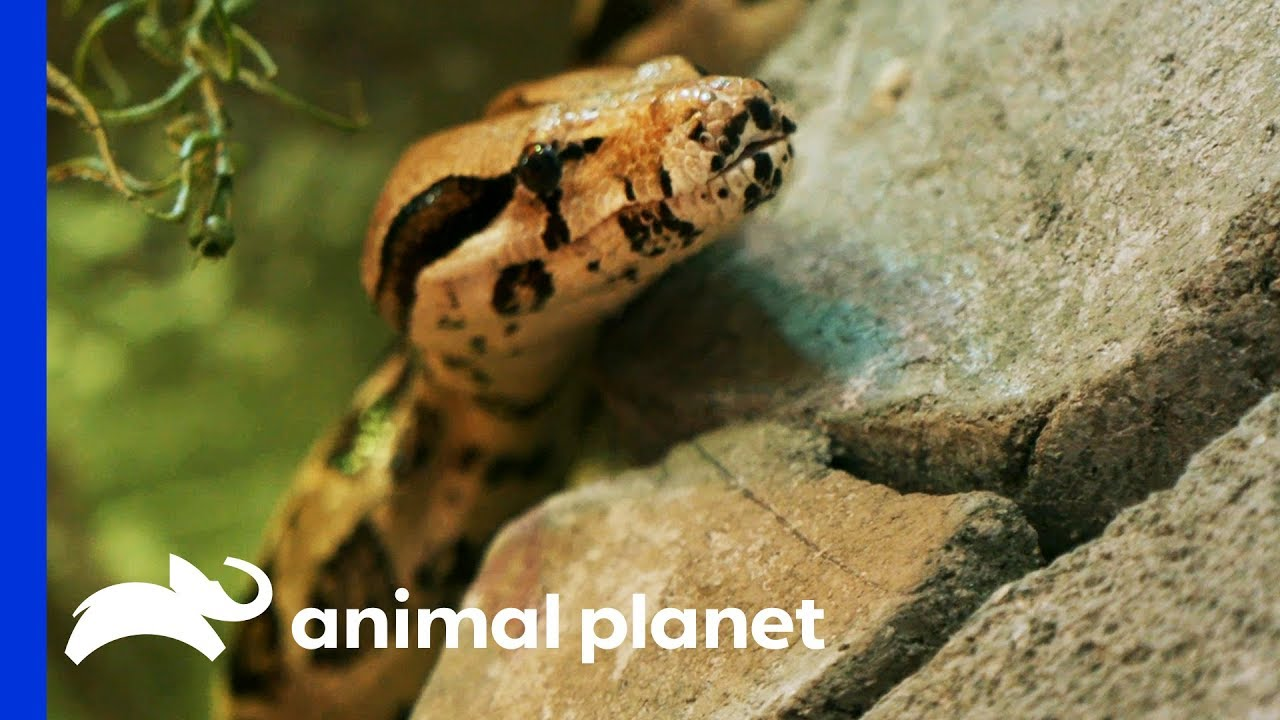 Four Rescued Snakes Get An Insane Jungle Enclosure | Animal Cribs