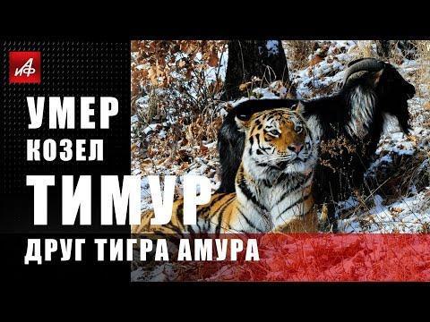 Умер козёл Тимур - друг тигра Амура