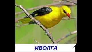 Птицы - Презентация для детей. Карточки Домана.