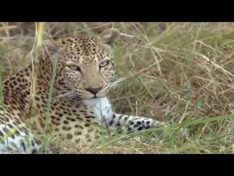 Những con Báo đốm trên Đảo Botswana - NEW Thuyết minh [Mr Srame]