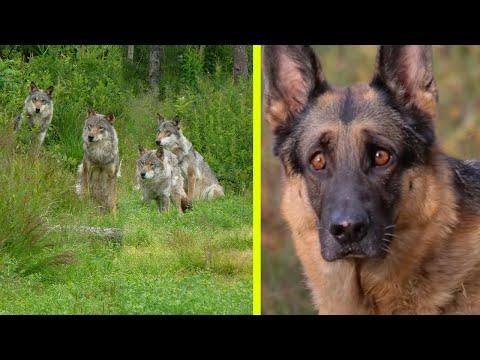 Abbandonò il suo cane nella foresta, lo legò a un albero e lo lasciò tra i lupi ma un anno dopo.. - iMabbon