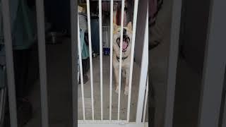 갇혀있는 진돗개의 의사표현 #Dog #대형견 #비 #수…