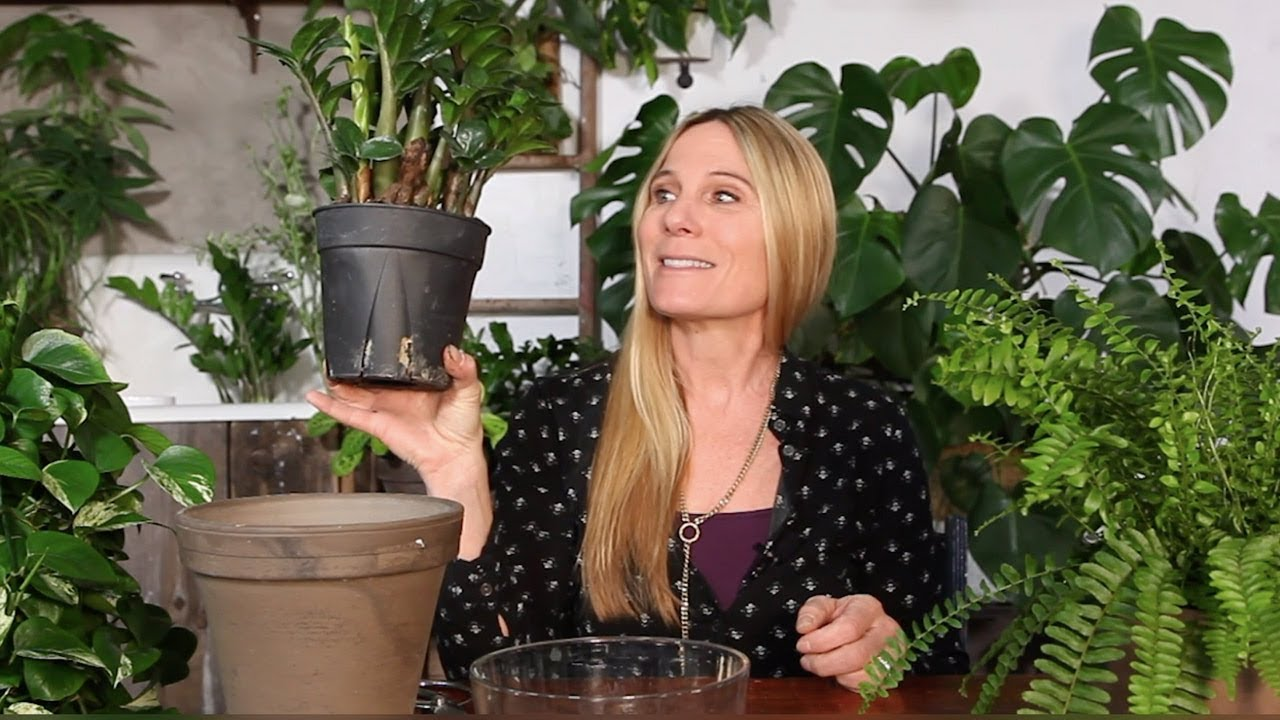 Potting And Indoor Plant Zz Plant Pothos Amp Potting Soil