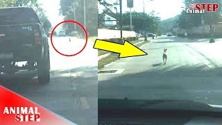 Dog Run Many Kilometers Follow Owner's Car Who Left Him