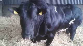 Pedigree stock bull Belgian Blue, Prime Irish BEEF!