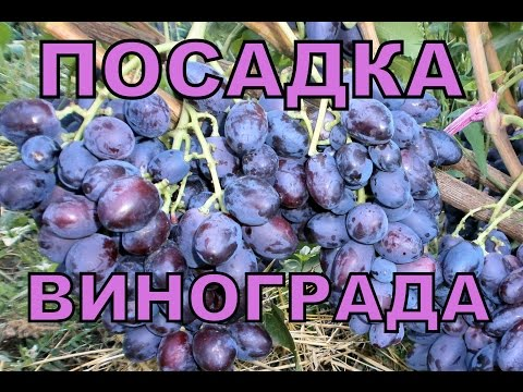 Посадка саженцев винограда