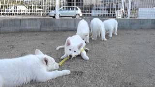 ホワイトスイスシェパードの仔犬生後2ケ月目 父:ホワイトスイスシェパ...