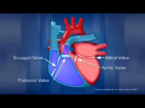 Diagram Of The Heart Youtube
