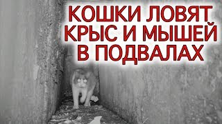 Кошки ловят крыс в подвалах (съемки камерой ночного видения)