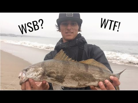 White Sea Bass From Shore! + Bonus Halibut And Striper [Dropshot Rig]