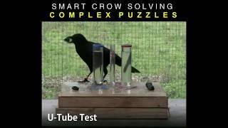 Smart Crow Solving