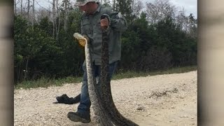On the hunt to get rid of Florida's invasive pythons