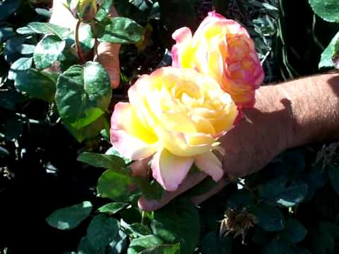 Rose Love And Peace Mov