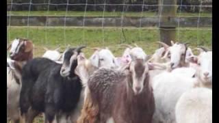 Cambridge Goat Farm
