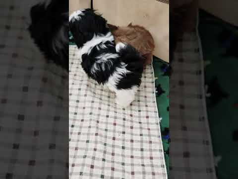 Shih Tzu Puppies Available For Sale In Mansfield, Texas