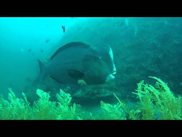 Büffelkopf Papageifisch / Bumphead Parrotfish