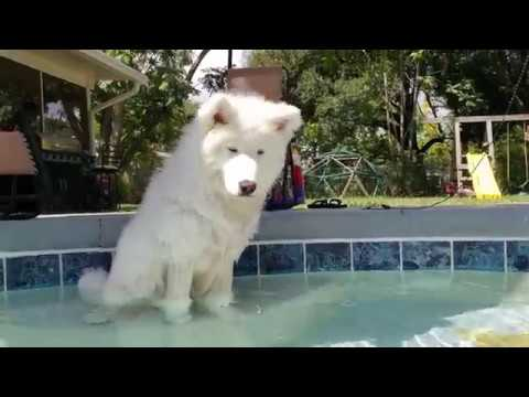 husky-puppy-prefers-to-use-float-to-get-in-pool