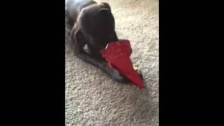 Daisy Opening Her Christmas Gift