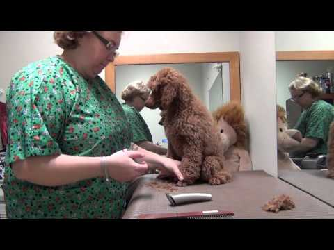 Poodle puppy grooming. Vol. 1