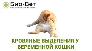 Кровяные выделения у  беременной кошки. Ветеринарная клиника Био-Вет.