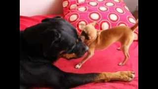 Rottweiler Vs Chihuahua