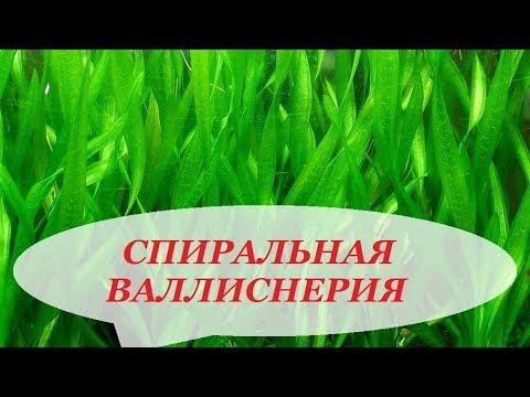 Валлиснерия спиральная, уход, размножение, болезни, почему не растёт. Аквариумные растения.