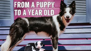 Raising My Border Collie Puppy to a Year Old