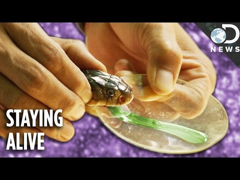 How Antivenom Stops Venom From Killing You