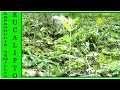 COMO REPRODUCIR EUCALIPTOS POR SEMILLA(playing by seed eucalipto)