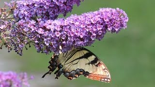 Butterfly Bushes - How To Prune to produce beautiful foliage