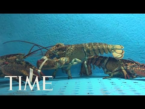 Switzerland Is Making It Illegal To Boil Live Lobsters, Law Set To Be Enacted In March 2018 | TIME