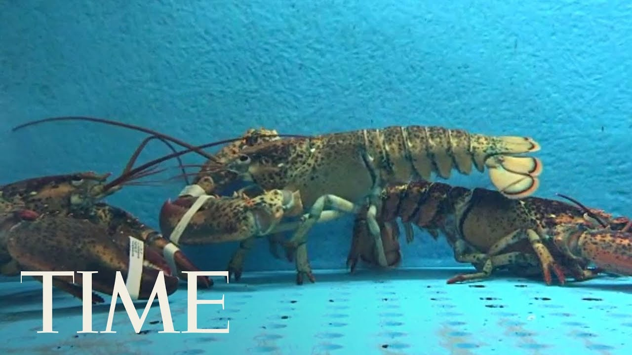 switzerland-is-making-it-illegal-to-boil-live-lobsters-law-set-to-be-enacted-in-march-2018-time