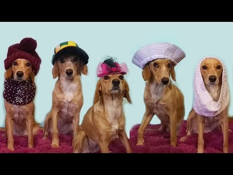Funny Dog Taffy trying on HATS and SCARVES \ Top Dog Model
