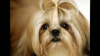 Want to know how to potty train a shih tzu puppy?