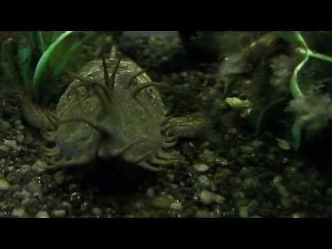 Snake vs Catfish from YouTube · High Definition · Duration:  1 minutes 13 seconds  · 7,000+ views · uploaded on 6/2/2013 · uploaded by Filmore Moannoa