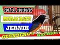Suara Burung Murai Batu Jernih Suara Air Mengalir Suara Burung Murai Batu Untuk Memancing  Mp3 - Mp4 Download