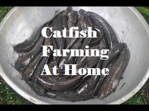 Starting A Small Catfish (Clarias Batrachus) Farm At Home