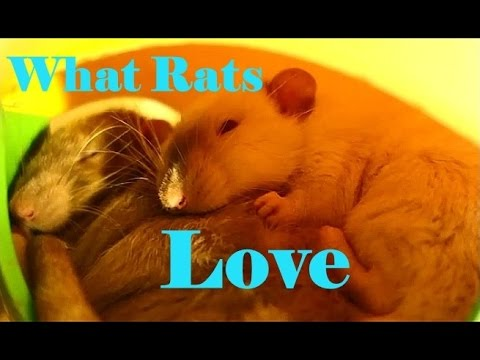 10 Things my Pet Rats love to do