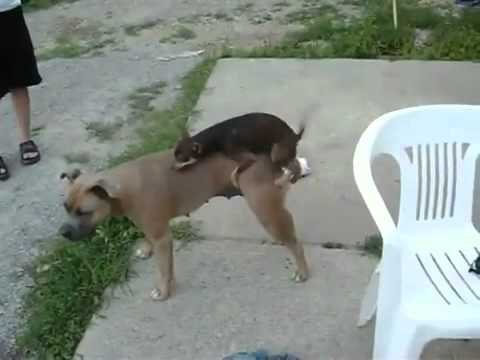 Chihuahua's rape attempt on Pitbull- HILARIOUS!