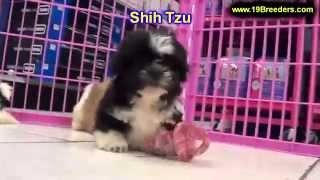 Shih Tzu, Puppies, For, Sale, In, Rio Rancho, New Mexico, County, Nm, Sandoval, San Juan, Mckinley,