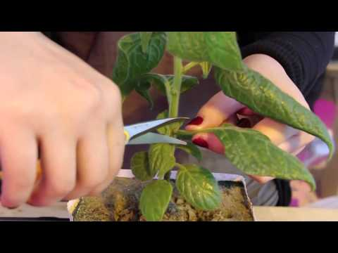 How to Prune Chili Pepper Plants