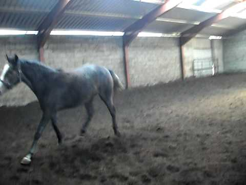 holly irish sport horse filly 20 months old
