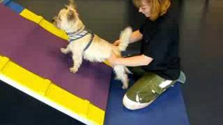 Cairn Skippy Does Leg Strengthening Exercises At Ipc