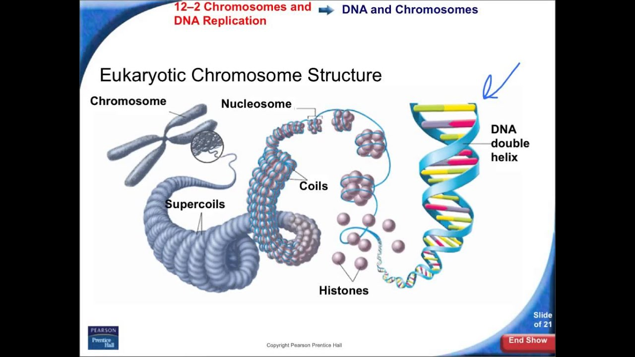 Chromosome Structure Diagram Dimarzio Bass Wiring 12 2 Chromosomes And Dna Replication Youtube