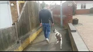 SPRINGER SPANIEL BAXTER, EXTREME LEAD PULLING, FIXED IN MINUTES