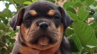 American Bully Puppy for Sale || American bully puppy ||  Doggyz World
